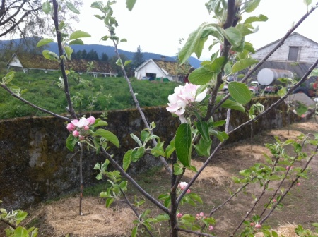 Apple Blossoms in early May