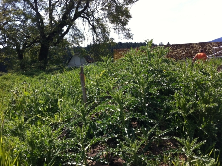 Mid-May and the outside is a tall jungle of thistles. We don't want Apple Tree Lane to ever get to this state!