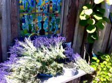 lavenderblackcurrentharvest